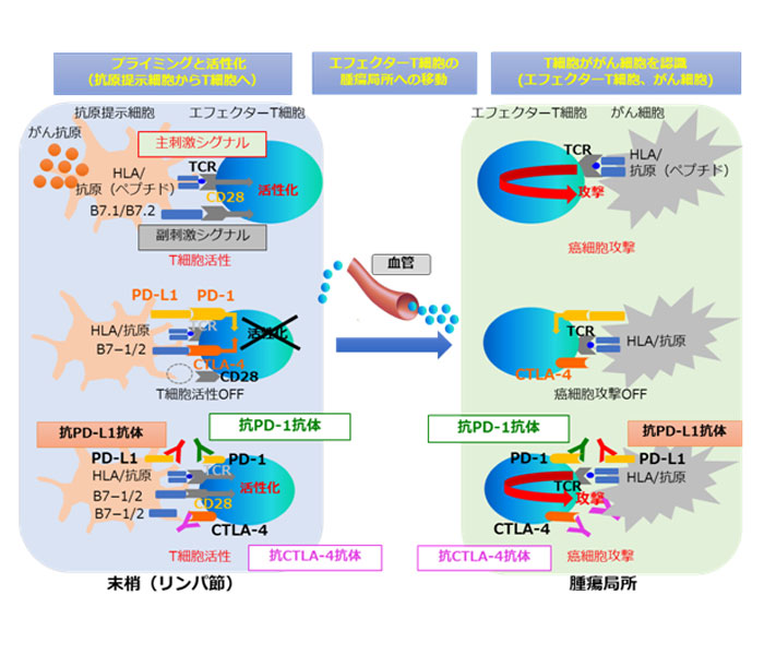 抗体療法・免疫チェックポイント阻害剤 - 日本がん免疫学会